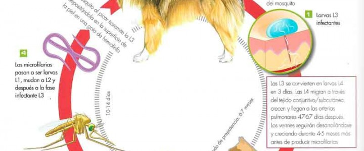 La dirofilariosis canina o enfermedad del gusano del corazón