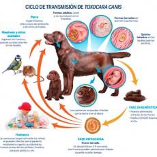Toxocara Canis: Un Parásito que afecta a perros y propietarios