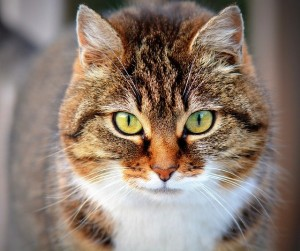 tratamientos hipertiroidismo en gatos