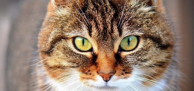 Hipertiroidismo Felino