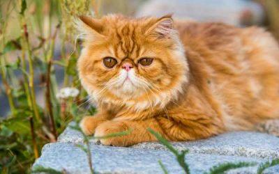 Tratamiento del dolor para gatos con artrosis