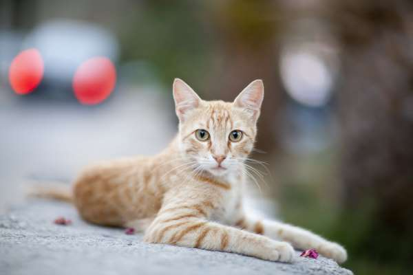 Colocación de Microchip en Gatos